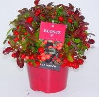 Blosjz Berry - Gaultheria LG